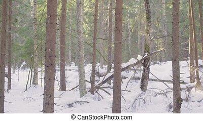 ель, зима, лес