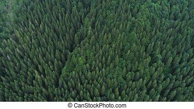 ель, forest., над, гора, рейс