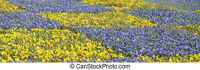 желтый, анютины глазки, красивая, весна, сад, blossoming, фиолетовый