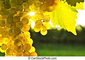 желтый, виноград