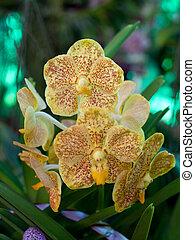 желтый, орхидея