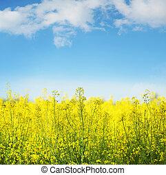 желтый, поле, рапсовое, в, цветение