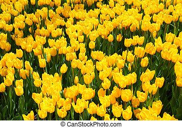 желтый, поле, тюльпан, весна, красивая