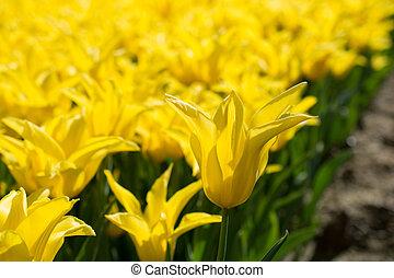 желтый, природа, весна, tulips
