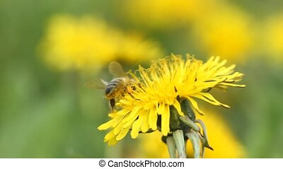 желтый, пчела, нектар, collects, одуванчик