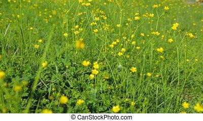 желтый, цветы, луг, лето