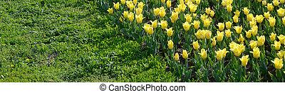 желтый, яркий, тюльпан, весна, время, blossoms, красочный