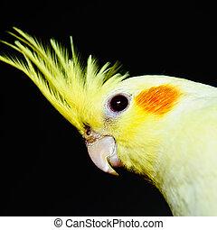 желтый, cockatiel, глава, через