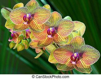 желтый, orchids