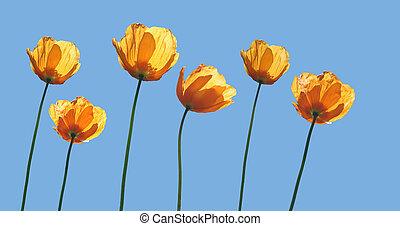 желтый, poppies