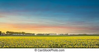 желтый, sunset., netherlands., голландия, цветы, tulips, или, цветение, поле, весна