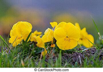 желтый, violets, весна, сад