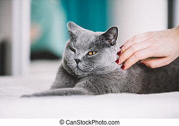женщина, ласки, , пушистый, серый, кот, на, , back.