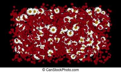 задний план, &, роза, day., petals, falling, маргаритка