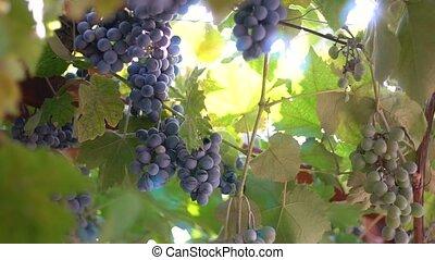задний план, созревший, солнце, против, bunches, виноград