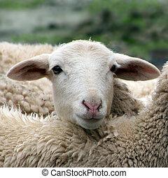 закрыть, вверх, of, , ягненок, овца