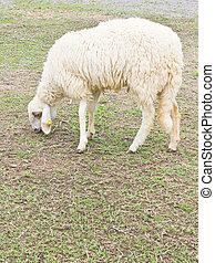 закрыть, вверх, sheep.