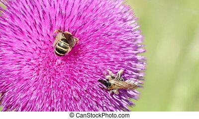закрыть, bees, вверх, цветок