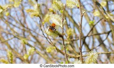запинаться, цветы, пчела, ива