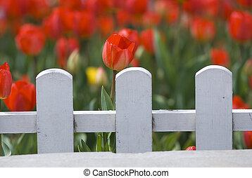 за, забор, tulips, красный, белый