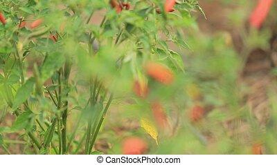 звук, перец чили, перец, органический, вспышка, объектив, горячий, зеленый, панорамирование, красный