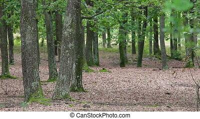 зеленый, дуб, лес, trees, венгрия