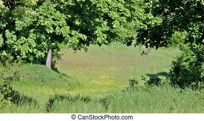 зеленый, дуб, лес, trees