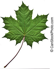 зеленый, лист, кленовый