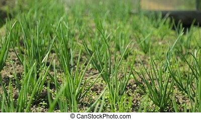 зеленый, лук, сад