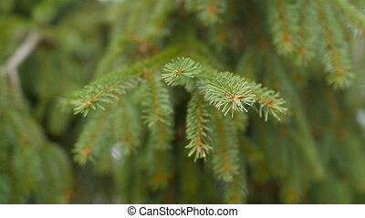зеленый, прут, ель, дерево, needles