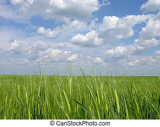 зеленый, пшеница, поле