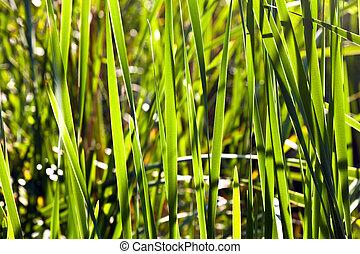 зеленый, тростник, озеро