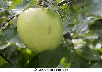 зеленый, apple.