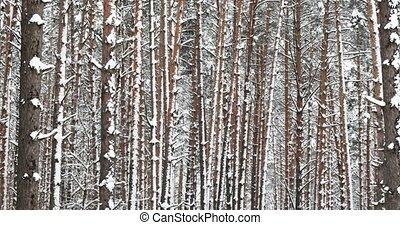 зима, лес, снежно, в течение, день, хвойный