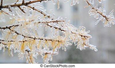 зима, после, желтый, лиственница, ледяной, needles, дождь