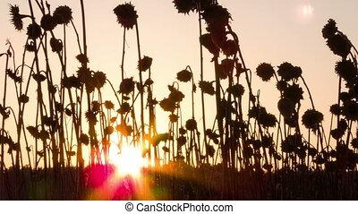 зима, упущение, высушенный, время, пейзаж, sunflowers.