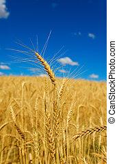 золотой, пшеница