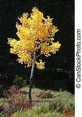 золотой, (populus, осина