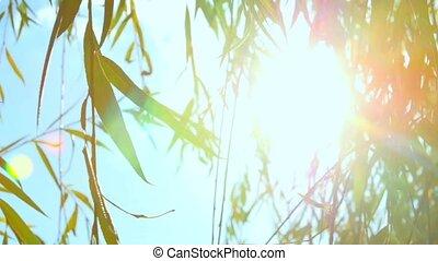 ива, солнце, яркий свет