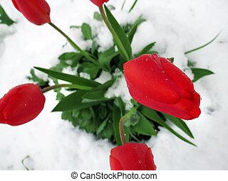 ищу, tulips, через, снег, красный