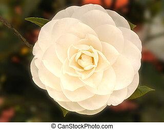камелия, в, цветение
