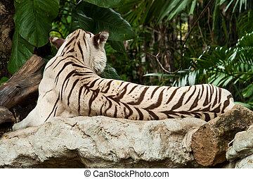 камень, тигр, белый