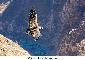 каньон, это, кондор, над, летающий, colca, самый большой,...