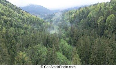 карпатская, ель, forest., aerial., motion., ukraine., mountains., медленный