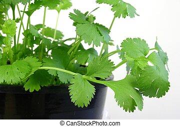 кориандр, leaves