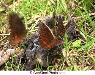 коричневый, бабочка, вскармливание, на, животное, фекалии