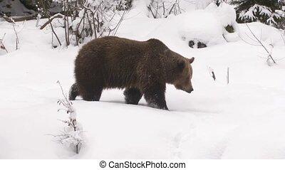 коричневый, зима, медведь