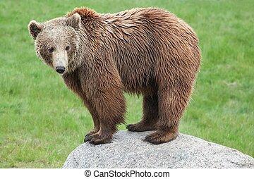 коричневый, медведь, на, камень