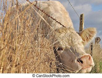 корова, между, провод