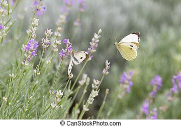 красивая, бабочка, над, лаванда, flowers., фиолетовый, белый